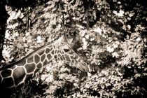 Suchbild mit Giraffe by Jürgen Müngersdorf