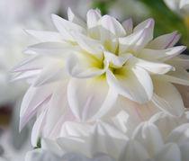 White Flower von Daniela  Skrzypczak