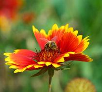 Biene trifft auf Sommerblume von Daniela  Skrzypczak