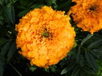Marigold by fizz113