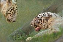 White-tiger5719a