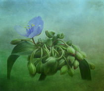 Spiderwort by Tina  Lindsay