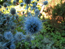 Distel blau by badauarts