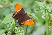 rusty tipped butterfly by Craig Lapsley