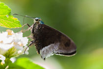 Butterfly - blue flasher von Craig Lapsley