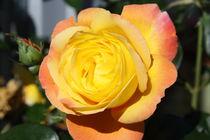 Rose von alsterimages