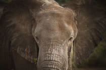 Big Elephant by martin buschmann