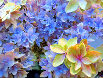 Lacy Hydrangea by Christi Ann Kuhner