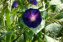 Blüte von Prunkwinden von lorenzo-fp
