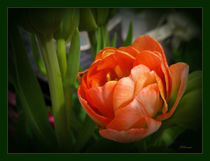 Orange Tulip by Zoila Stincer