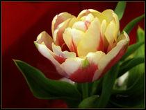 Tulip by Zoila Stincer