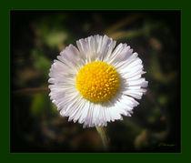 Aster Flower by Zoila Stincer