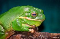 Giant Frog - Litoria Infrafrenata von Paulo Zerbato