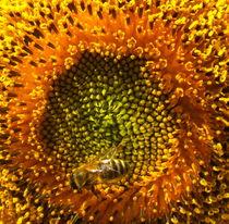 Sonnenblume von Bettina Breuer