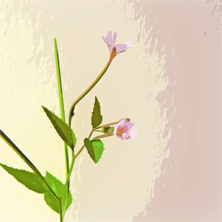 Broad-leaved-willow-herb