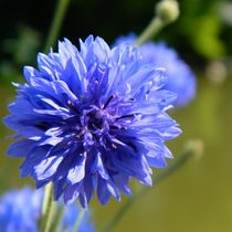Cornflower blue von sharon lisa clarke