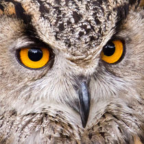 European Eagle Owl by David Pringle
