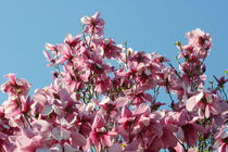 magnolienbaum poster magnolienbaum kunstdrucke online. Black Bedroom Furniture Sets. Home Design Ideas