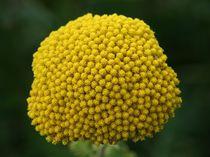 Goldgarbe  Fernleaf Yarrow  (Achillea filipendulina ) von hadot
