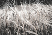 Wheat by abphel