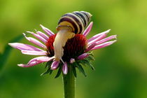 Winehouse Schnecke von Photo-Art Gabi Lahl