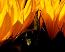 Fiery Sunflowers von Kume Bryant