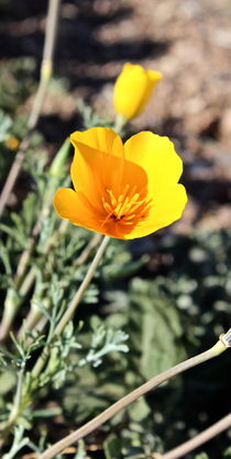 Yellow Poppy by Kume Bryant