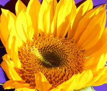 Yellow Sunflower 2 von Kume Bryant