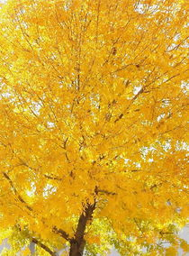 Yellow Tree von Kume Bryant