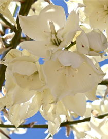 Yucca Flowers 3 by Kume Bryant