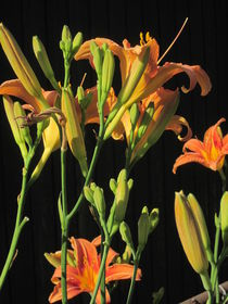 Orange Day Lilies at Night by Guy  Ricketts
