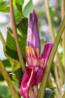 pink Banana flower by Craig Lapsley