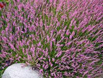 Lavendel von Thomas Brandt