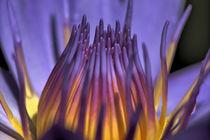 Seerose Nymphaeaceae by Thomas Brandt