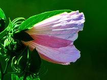 Pink Blossom von Kathleen Stephens