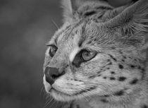 Serval von Heidi Bollich