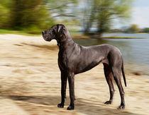 Deutsche Dogge von pahit