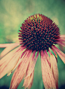 Echinacae Delicates. by rosanna zavanaiu