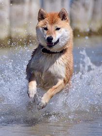 Shiba fliegt über Wasser III von Ulrich Karlowski
