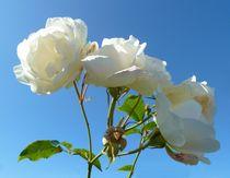 White Roses von John McCoubrey