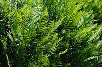 Ein Wald aus Farnen von Bertold Werkmann