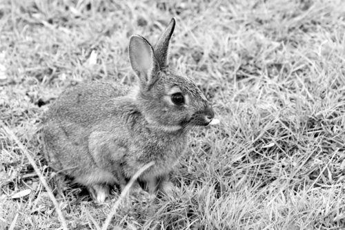 European-rabbit0360