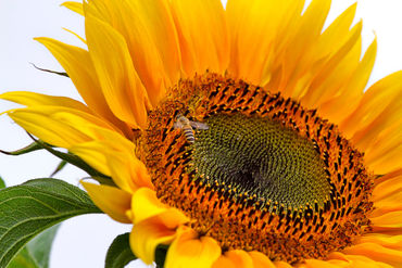 Sunflower-with-bee5280