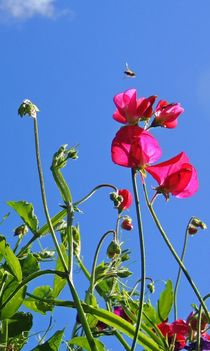 Sweet Pea Flowers by John McCoubrey