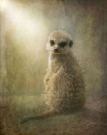 Baby Meercat  by Pauline Fowler