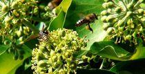 Wespe und eine Biene bei der Arbeit by theresa-digitalkunst