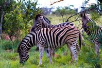 Zebras by Marc Seeh