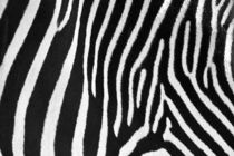 Zebra Stripes by David Pringle