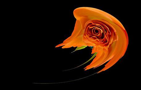 Orange-rose-on-black-polar-2012