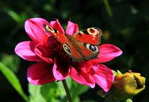 Schmetterling auf Dahlie von Wolfgang Dufner